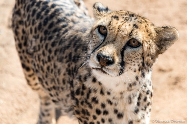 Cheetahs can have puppy eyes too!