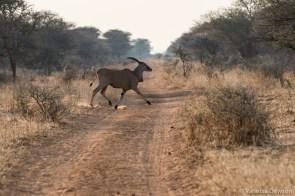 Eland crossing.