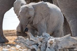 Baby elephant playing.