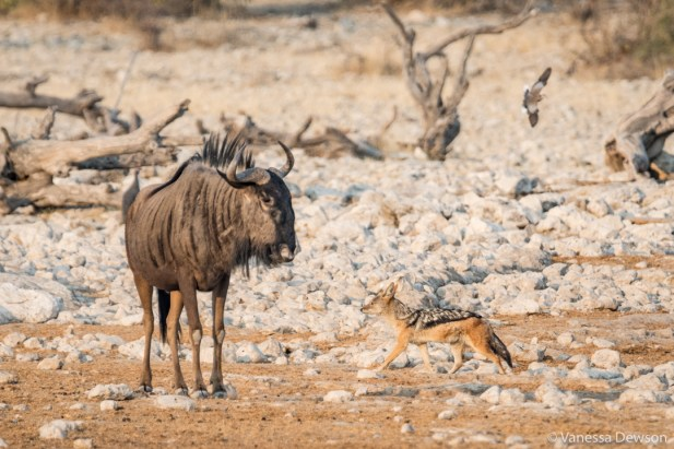 A black-backed jackal and a wildebeest