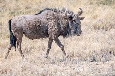 Muddy Wildebeest