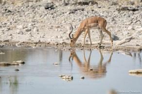Impala drinking