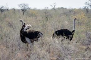 Ostrich dance.