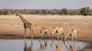 Giraffes at the waterhole.