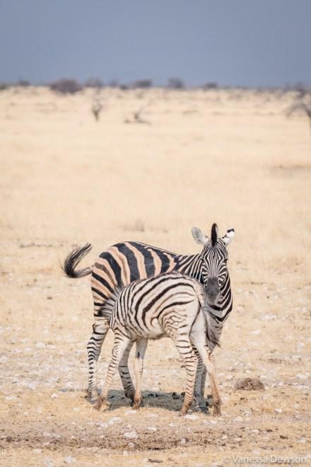 Nursing Zebra