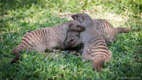 Banded Mongoose Group Hug