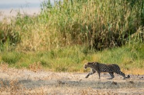 Leopard on the prawl.
