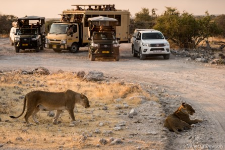 Lion road-block.