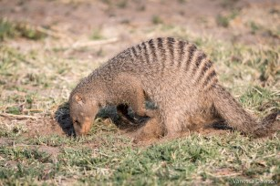 Banded mongoose digging.