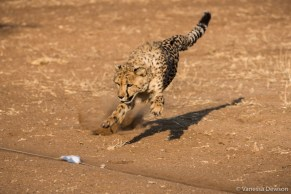 Cheetah chasing a lure