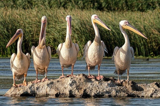 A Picture of five pelicans sitting on a rock in a pond or river. The two on the right are looking to the right, and the two on the left are looking to the left. The one in the middle is looking stright ahead. Is your belief helping you to Focus on Purpose?