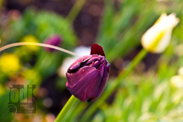 LGS - Tulpe kurz vorm aufwachen