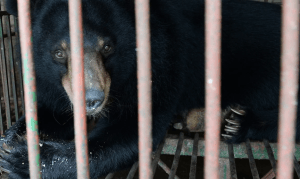 Use of bear bile in COVID-19 treatment should be stopped