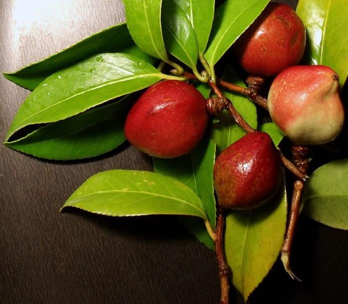 camellia fruit