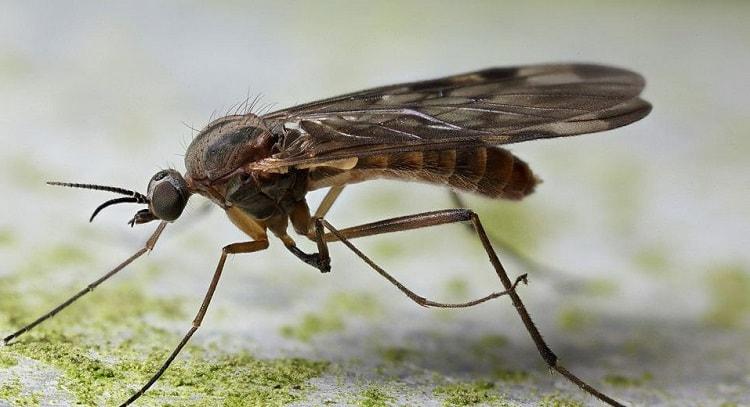 gnat & fruit flies