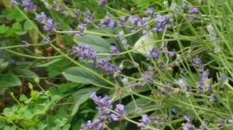 Not the world's clearest picture, but there is a Cabbage White (Pieris rapae) in the lavender.