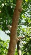 The picture is a little blurry and not so great, but this is a juvenile Red Bellied Woodpecker.