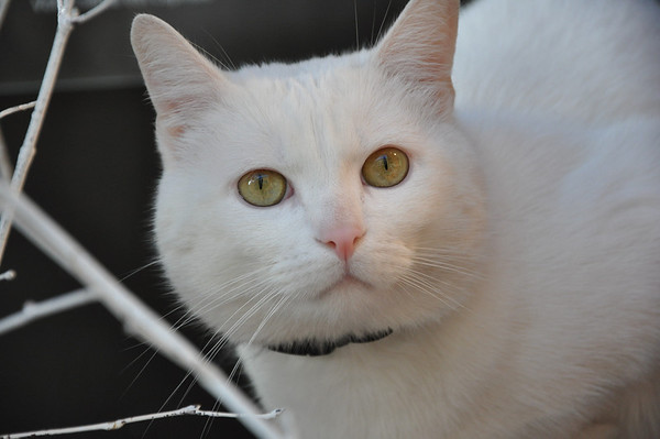 A white cat with yellow eyes.