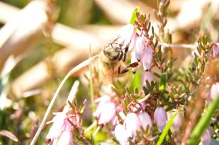 Une abeille sur une bruyère.