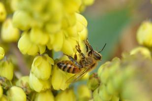 Une abeille en recolltant le nectar.