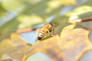 Un abeille sur une feuille.