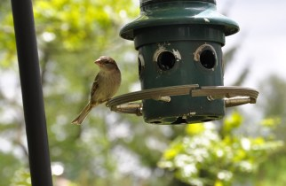 Sparrow on Feeder