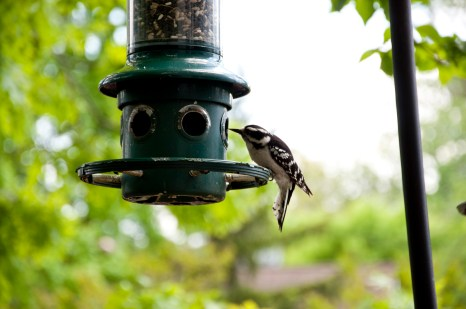 Woodpecker at Feeder 2