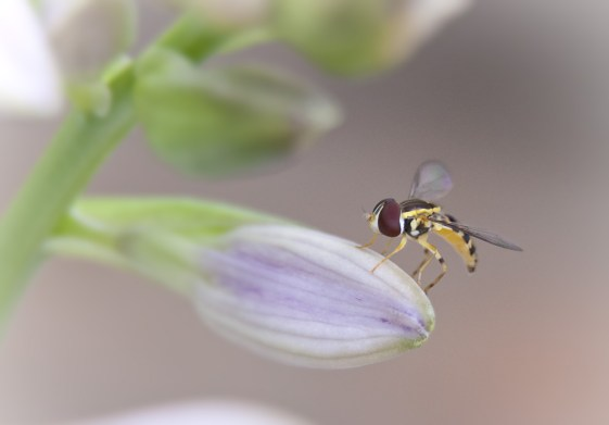 Thick-headed-Fly