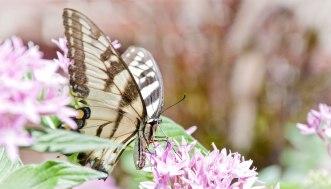 tiger-swallowtail-on-joe-pye-weed
