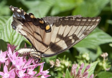 tiger-swallowtail-with-torn-wing