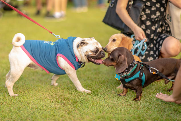 pug-petblock-paina-honolulu-2019-fokopoint-1452 PetBlock Paina at Victoria Ward Park