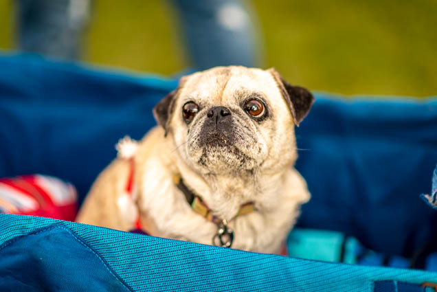 pug-petblock-paina-honolulu-2019-fokopoint-1701 PetBlock Paina at Victoria Ward Park