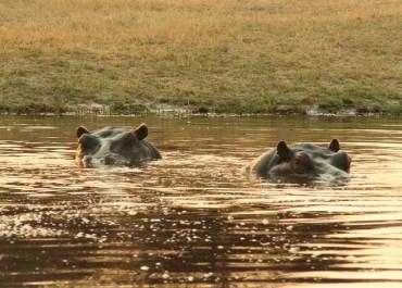 Sunway Botswana Moremi NP hippo