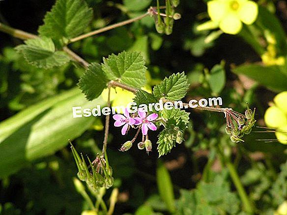 Video Erodium Seed Erodium