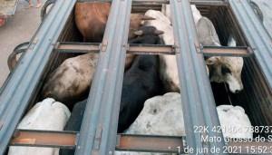 Read more about the article Após deixar gado com fome e sede em caminhão por 24 horas, homem é autuado pela PMA