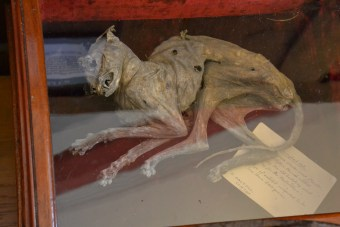 Mummified cat found in the roof space of a church in Clifton, Cumbria. Photograph by J. Neild, copyright Keswick Museum (please contact Keswick Museum curator to reproduce image)