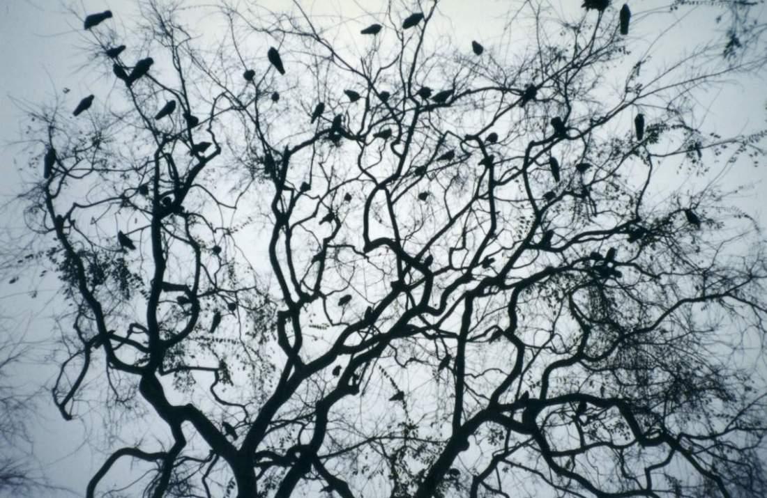 A murder of crows gather at dusk © Jesse Weinstein