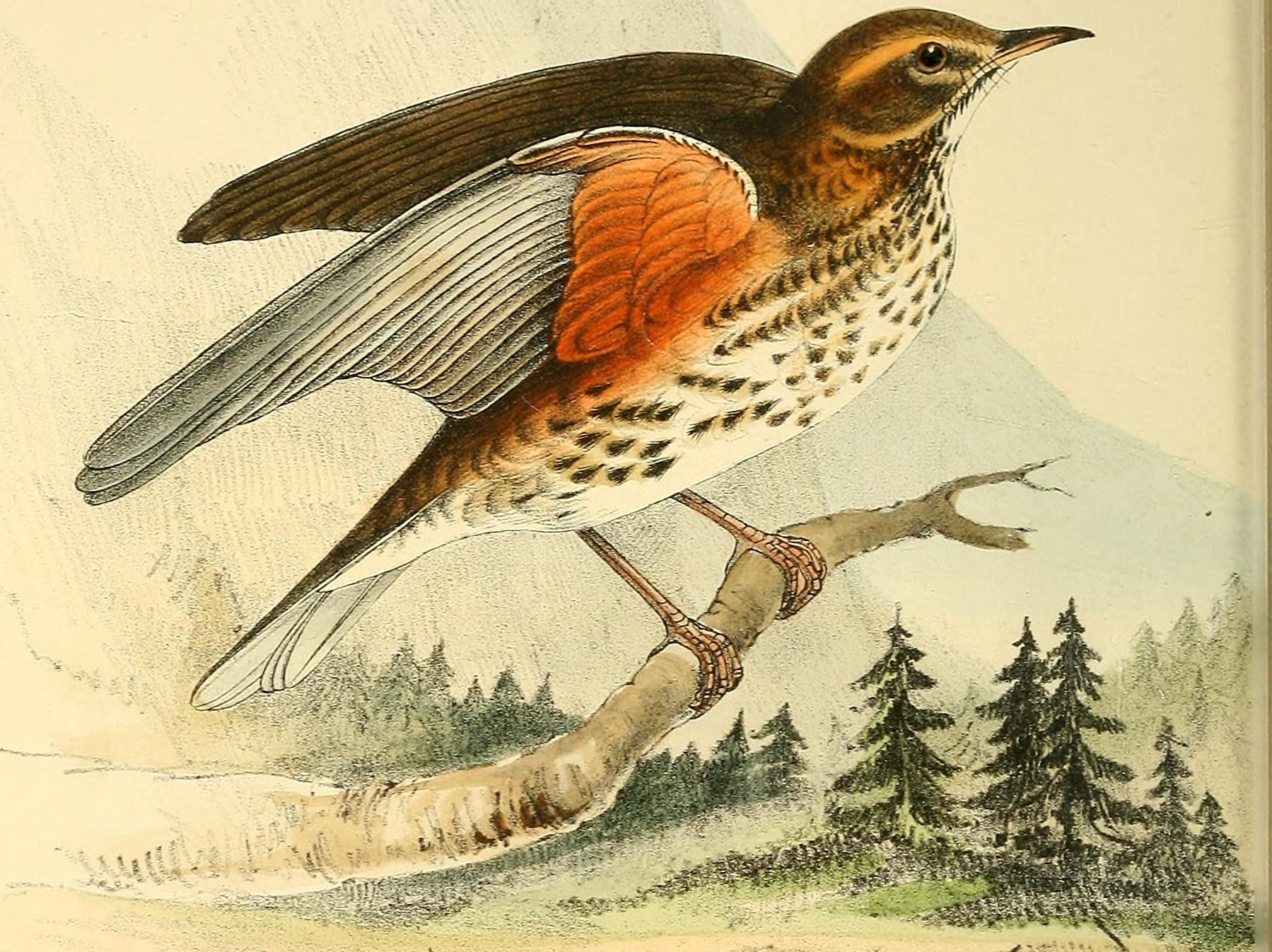 A redwing engraved in 'Coloured Illustrations of British Birds, and Their Eggs' (H. L. Meyer, 1842)
