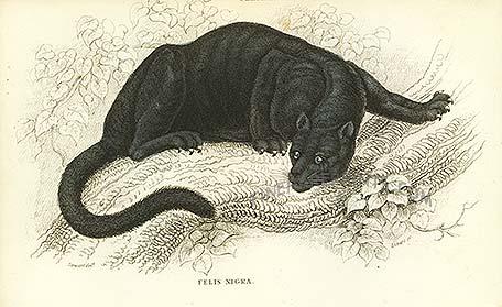 Black puma crouching in a tree