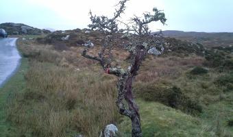 An Irish fairy tree