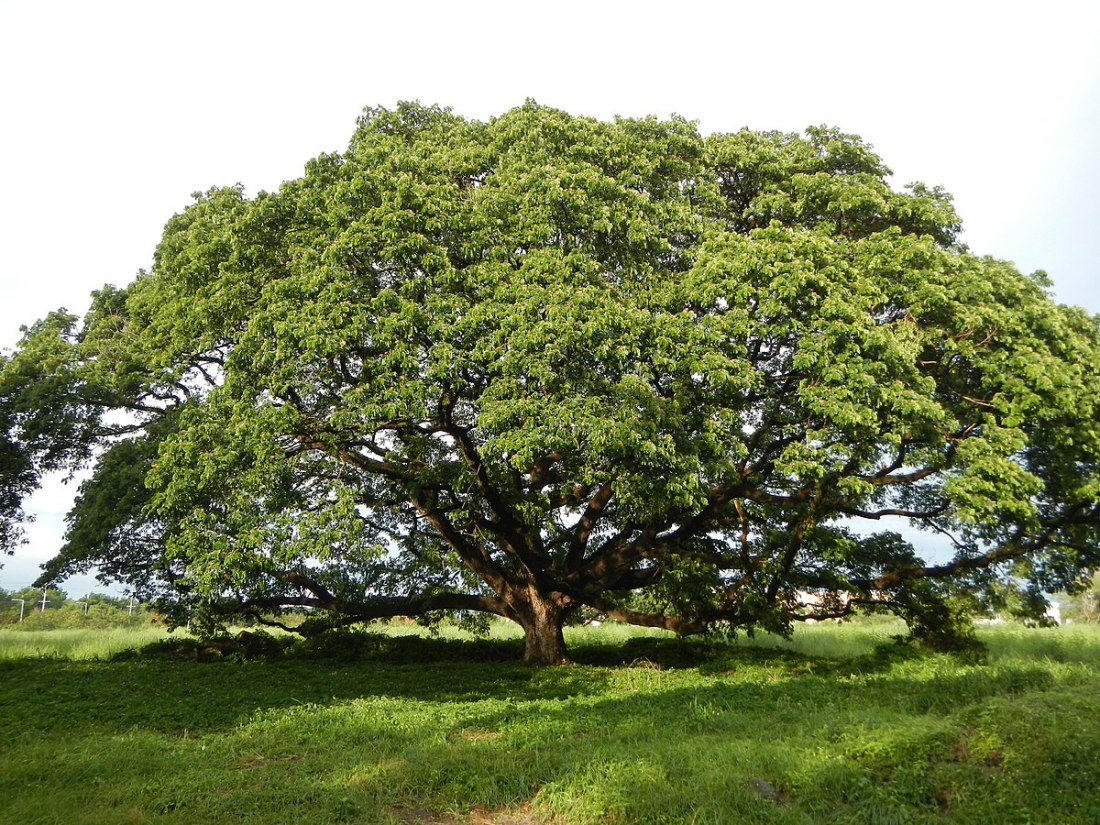 Acacia, Angeles City, Pampanga, Philippines By Judgefloro - Own work, CC BY-SA 4.0, https://commons.wikimedia.org/w/index.php?curid=40445313