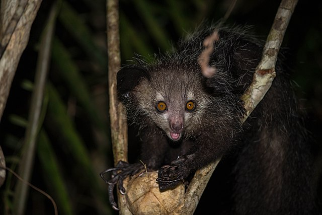 An adult aye-aye is mostly black with long, spindly fingers. By nomis-simon, CC BY 2.0 https://commons.wikimedia.org/w/index.php?curid=42890351
