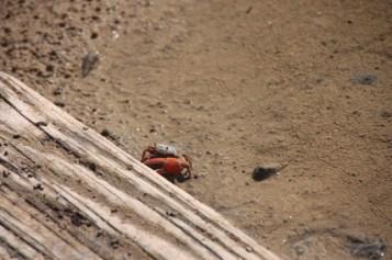 有大螯的是雄性招潮蟹