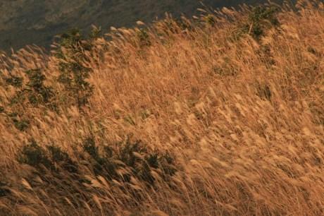 黃牛山 (芒草)