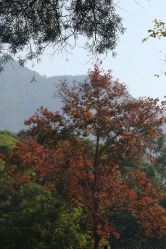 燒烤場的一棵楓香紅葉