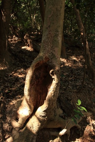 村前的一棵通心樹