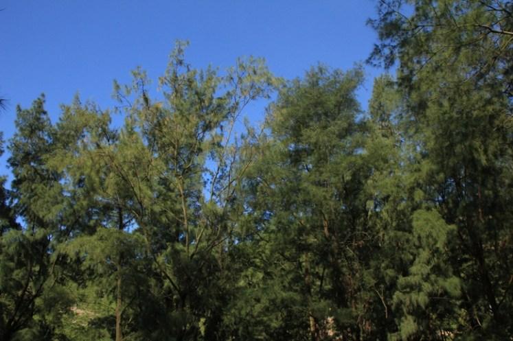 營地的高樹