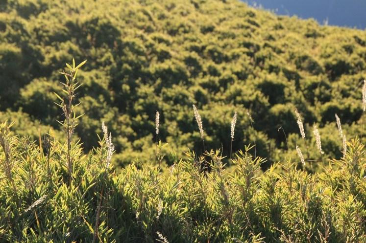沿途長滿玉山箭竹