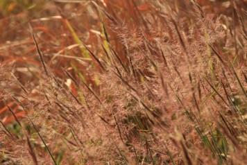 還有少見的狼尾草