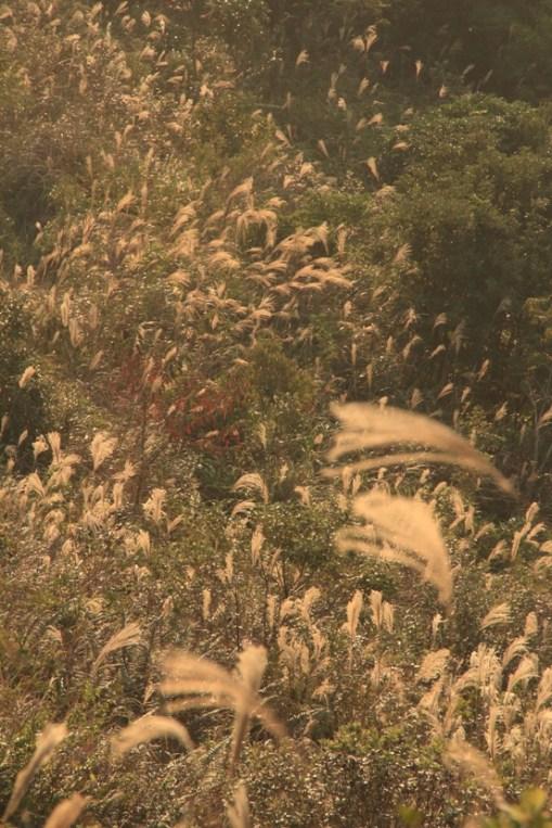 山頭滿佈芒草